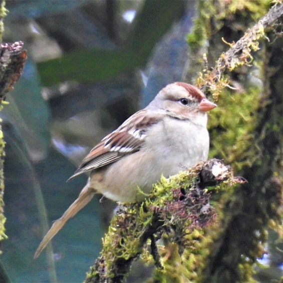 """This immature """"Eastern"""" White-crowned Sparrow (Z. l. leucophrys) was an exciting find on 30 Nov 2017 at Rancho Quemado on Costa Rica's Osa Peninsula, where it stayed at least until 27 Jan 2018 and delighted many observers. Photo ©Karen Leavelle."""