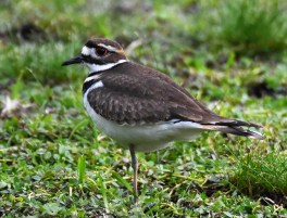 An estimated 1.000 Killdeer arrived in Bermuda 5–6 Jan as a result of Storm Grayson in the northeast US. The was the highest number ever documented. This bird photographed 6 Jan 2018 was one of about 500 at Bermuda Airport. Photo © Andrew Dobson.