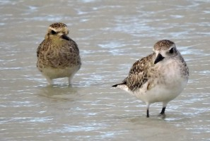 This stunning Pacific Golden Plover had been at Christchurch, Barbados since May 2017. On 25 Feb 2018 it was joined by a second one and they stayed together until March. Photographed here 21 Feb 2018. Photo © John Webster.