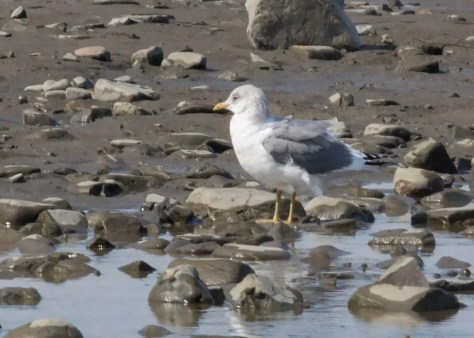 This adult Mew Gull at Rivière-du-Loup on 7 Apr 2018 contributed a record early date for Québec. Photo © Sébastien Dionne