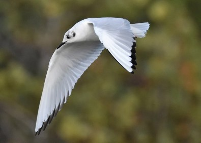 An influx of Bonaparte's Gulls into Bermuda in March saw an unprecedented number build to 29 birds at Spittal Pond on 17 Mar 2018. Photographed here on 6 Mar. Photo © Andrew Dobson.