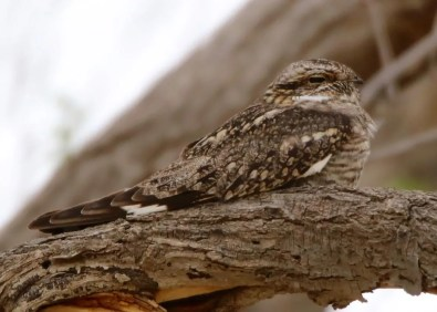 A Lesser Nighthawk on the open high-plains prairie of central Cimarron Co, far-western Oklahoma, found a resting place in a convenient farmyard 2 May 2018. Only a handful of prior records exist for Oklahoma, one of which was in the same farmyard. Photo © Dan Robinson.