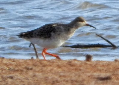 A continental rarity, and only the second for Oklahoma, this Ruff was found briefly at Hackberry Flat W.M.A, Tillman Co 20 Apr 2018. Photo © Joe Grzybowski.
