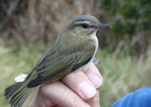 A Black-whisked Vireo trapped in a mist-net was a surprise at Ferry Point, Bermuda on 29 Mar 2018. It was only the 6th record for Bermuda. Photographed here on 29 Mar. Photo © Paul Watson.