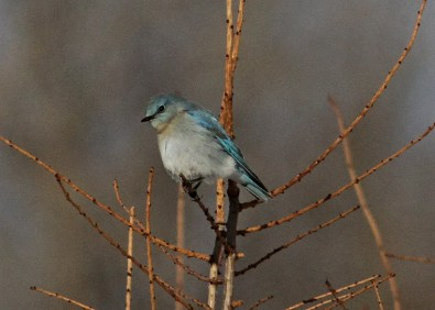 This male Mountain Bluebird made a short visit at Neuchâtel (Québec City) 31 Mar 2018. Photo © Laval Roy.