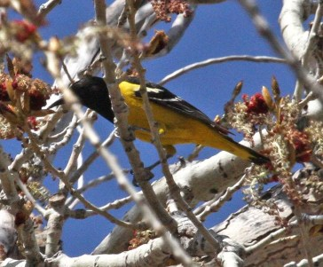Finding a pair of Scott's Orioles twice (or four birds) at two locations in western Cimarron Co, Oklahoma the same day (28 April 2018) was quite an odds-breaker, and provided the second-plus records documented for the state. Photo © Joe Grzybowski.