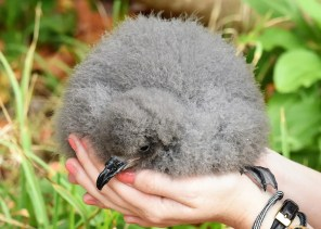 The start of the breeding season for the Bermuda Petrel (Cahow) looks very promising with a record-breaking 70 hatchings in Mar–Apr. This chick was photographed 3 Apr 2018 . Photo © Andrew Dobson.
