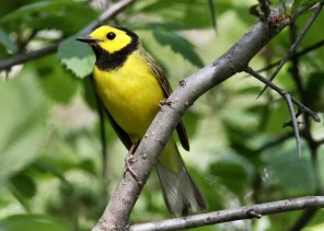This male Hooded Warbler made a stop at Saint-Hyacinthe, Québec 21–22 May 2018 (here 21 May). Photo © Pierre Bergeron.