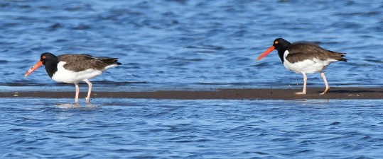 These two American Oystercatchers at Fatima (Les Îles-de-la-Madeleine), Québec 11-19 Jun 2018 (here 11 Jun) provided only the fifth regional record and the first documented with a photograph. Photo © Alain Richard