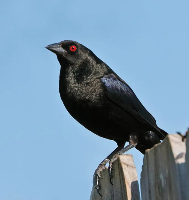 Here they come. Bronzed Cowbirds are establishing a foothold in the western Oklahoma Panhandle and into southwestern Kansas. This male was in Kenton, Cimarron Co, Oklahoma 9 July 2018. Photo © Steve Metz.