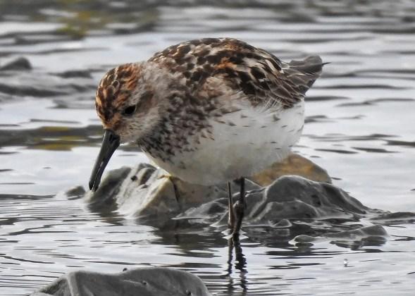 Very rare in mid-summer, this adult Western Sandpiper in worn plumage was a nice find at Sainte-Flavie, Québec 26 Jul 2018. Photo © Sonia Dechamplain