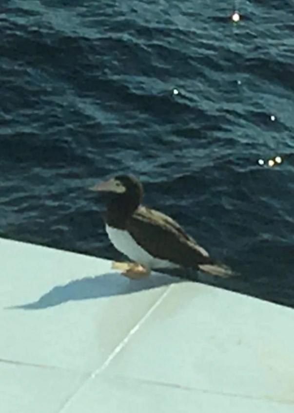 This Brown Booby perched on the Bella Desgagnés ferry between Blanc Sablon and Saint-Augustin on the North Shore of Québec, 27 Jul 2018, provided only the second record for the province. Photo © Isabelle Legault