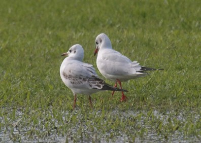 Black-headed Gull is now an annual vagrant to Bermuda. On 28 Nov 2018, Neal Morris managed to record both adult and immature birds together at Bernard Park. Photo © Neal Morris.
