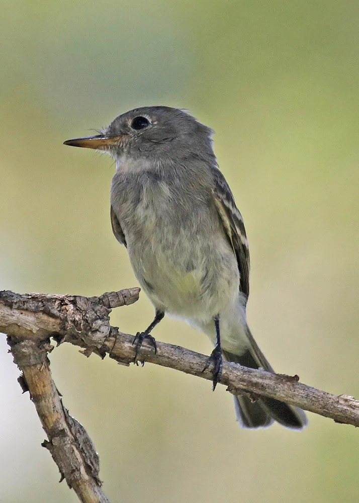 Normally fewer than reported in the fall from the region, this season saw five Gray Flycatchers reported, including this bird on 1 Sep 2018 southwest of Boise City, Cimarron, OK. Photo © Joe Grzybowski.