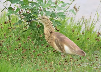 A Squacco Heron was discovered and photographed at La Désirade Island, Guadeloupe 10 Nov 2018. Despite extensive searching it could not be re-found. This bird, a first Caribbean and North American record, winters in Africa and breeds in Southern Europe and the Middle East. Photo © Anthony Levesque.