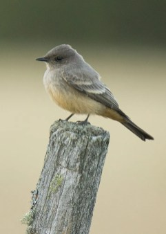 The Say's Phoebe is always an excellent find in Québec. This one was found at Bergeronnes 12 September 2018. Photo © David Turgeon.