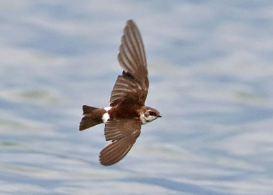 First documented record of Violet-green Swallow for OK, this bird was photographed at the Boise City Sewage Lagoons, Cimarron, OK, 1 Sep 2018, in the normal passage time of other vagrants of this species. Photo © Steve Metz.