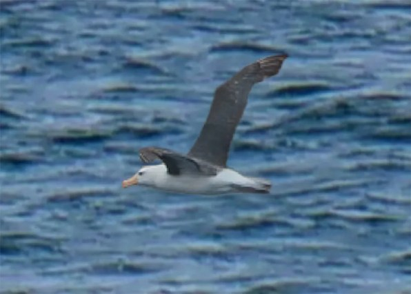 Elijah Sands photographed a Black-browed Albatross from land, about ¾ mile off Gerace Research Center, San Salvador, Bahamas 19 Oct 2018. He was able to watch it for about 20 minutes before it disappeared from view. Photo © Elijah Sands.