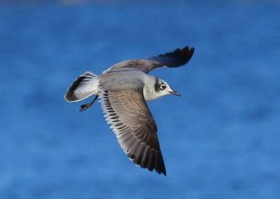 Rare but expected in small numbers each fall in the Tennessee Valley of Alabama, this first-cycle Franklin's Gull was at Guntersville, Marshall County 11 Nov 2018. Photo © Bala Chennupati.