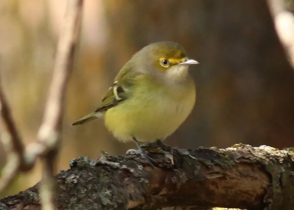 The White-eyed Vireo is a rare but regular vagrant in Québec. This individual lingered at the Montréal Botanical Gardens 24 October–21 November 2018 (here 24 October). Photo © Émile Brisson-Curadeau.