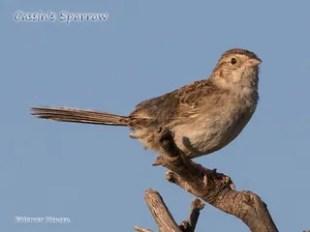 Cassin's-Sparrow---Homer-Hansen