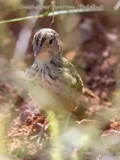 Grasshopper-Sparrow---Homer-Hansen