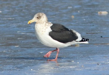 This Slaty-backed Gull discovered 17 January 2019 on Quidi Vidi Lake, St. John's, Newfoundland and Labrador by Lancy Cheng remained through 6 February. Here photographed 26 Jan 2019. Photo © Jared Clarke.