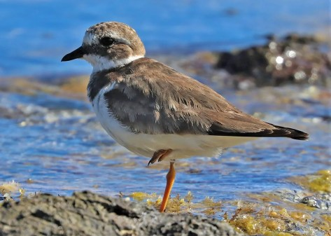 The discovery of a Common Ringed Plover at La Désirade, Guadeloupe 18 Jan 2019 provided the island with its second record and was only the third for the Caribbean. Photo © Anthony Levesque.