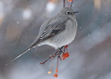 This Townsend Solitaire at Yamachiche 4–8 Dec 2018 (here 6 Dec) was one of three reported in Québec this winter. Photo © Daniel Jauvin.