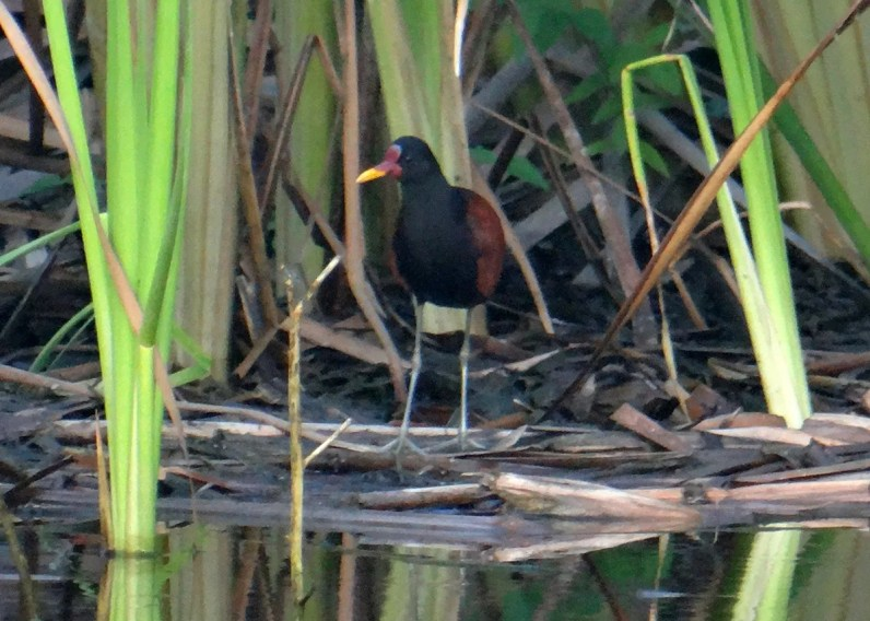 While conducting a Caribbean waterbird count, six observers discovered the first Caribbean record of Wattled Jacana at Potworks Dam, Saint Paul, Antigua & Barbuda 11 Jan 2019. It remained until 25 Jan. Photographed here 11 Jan. Photo © Andrea Otto.