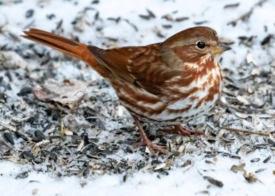 This Fox Sparrow in Montréal, Québec 6 Dec 2018 was one of seven reported in the region this winter. Photo © Sylvie Laurence.