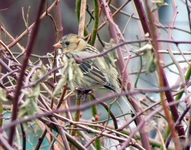 This Golden-crowned Sparrow was a great find for Clara Dunne when it stayed in her backyard in Renews, Avalon Peninsula, Newfoundland and Labrador from 7–9 January 2019 providing the province with its first record for the species. Here photographed 7 December 2019. Photo © Clara Dunne.