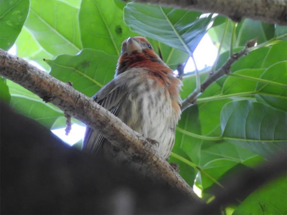 An adult male House Finch discovered and photographed here at Quinta De Los Molinos, La Habana, Cuba on 28 Dec 2018 was the first Cuban record of this species. It remained until well into March. Photo © Tatiana Sanchez.