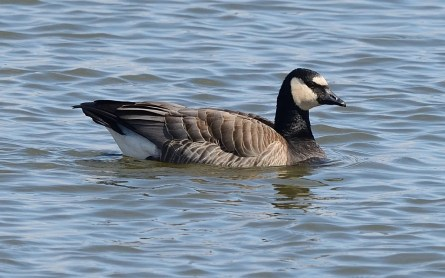 This rare Barnacle Goose x Canada Goose hybrid, spotted at Saint-Jean-sur-Richelieu, Québec, 29 Mar 2019 was only the second one ever reported in the province. Photo © Jocelyn Dubé.