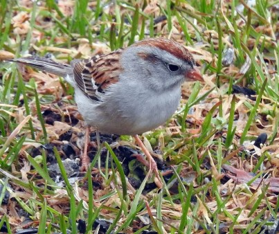 This rare Field Sparrow X Chipping Sparrow hybrid was photographed at Matane on 1 May 2020. It superficially looks like the Field Sparrow X Clay-colored Sparrow hybrid seen several times in the last few years. The main differences include a grayer face, a dark eyeline extending onto the lores and a more rufous crown. Photo © Jules-Alex Banville.