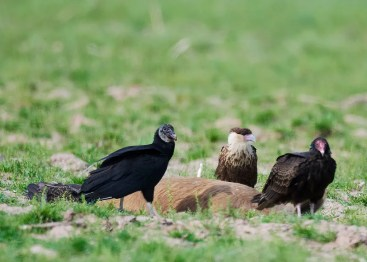 This Crested Caracara was photographed feeding on a feral hog carcass 31 Mar 2019 east of Texarkana, Miller Co, Arkansas, and represents just the fourth occurrence for the state. Photo © Charles Mills.