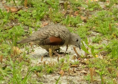 Inca Dove 18 Apr 2019 at Dauphin Island, Mobile Co, Alabama, appearing in a new site during its range expansion in the Region. Photo © Carol Kautzman.