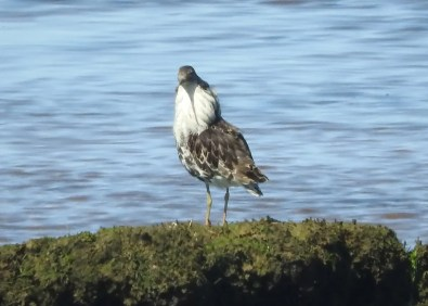 This male Ruff found at the Borden Lagoons, Prince Edward Island 25 May provided that province with its ninth record of this species. Photo © Ron Arvidson.