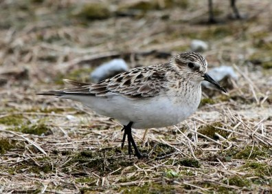 Baird's Sandpiper 20 Apr 2019 at Marvyn, Lee Co, Alabama. Occasional in spring in the Upper Coastal Plain. Photo © Jim Holmes.