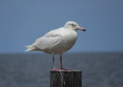 Glaucous Gull 17 Apr 2019 at Dauphin Island, Mobile Co, Alabama. Glaucous is rare in Alabama in spring. Photo © Brian Johnston.