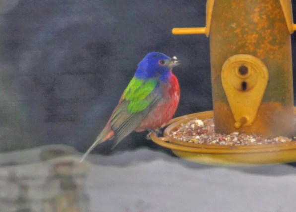 This Painted Bunting was observed in Souris, Kings, Prince Edward Island 29 May, providing the province with its second record of the species. Photo © Wanda Bailey.