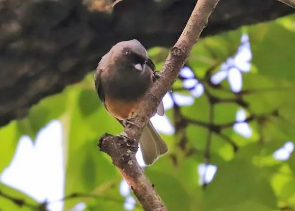 The rare melanistic Tufted Titmouse 29 Apr 2019 at Oak Mountain, Shelby Co, Alabama. Photo © Daniel Redwine.