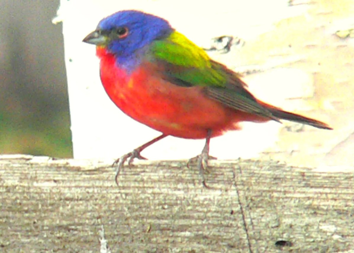 This Painted Bunting, spotted at Saint-Henri-de-Taillon 11 May 2019, was one of six males recorded this spring in Québec. Photo © Michel Bellemare