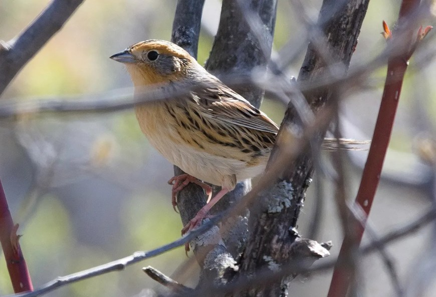 The LeConte's Sparrow is nesting almost exclusively in the Abitibi-Témiscamingue region in northwestern Québec. It is quite rare elsewhere in the province, even more in the southwest. This individual was photographed at Châteauguay, Montérégie, 13 May 2020. Photo © Jocelyn Dubé.