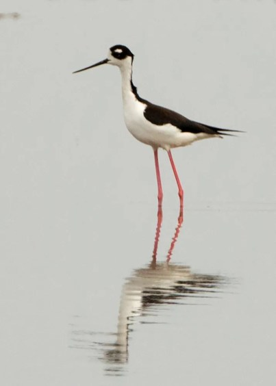 This Black-necked Stilt at Carleton Cove, Borden, Prince, PE was an exceptional find which provided the province with its second record. Here photographed 21 July. Photo by © Brendan Kelly