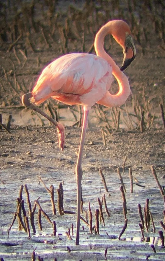 This American Flamingo seen in New Madrid, Missouri on 20-21 (here near Matthews 20) July, may have been blown inland by Hurricane Barry which made landfall in Louisiana 13 July. The only previous records for the region are singles in 1959 and 1965 in Missouri, but their origin is unknown and they were considered likely escapees. Photo © Tim Kavan.