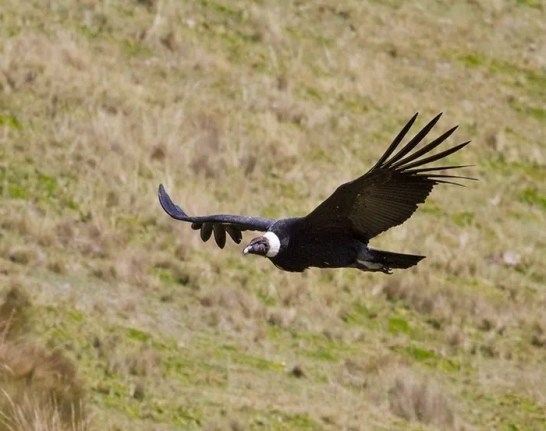Antisana is home to the largest number of Andean Condors in Ecuador (Sam Woods)