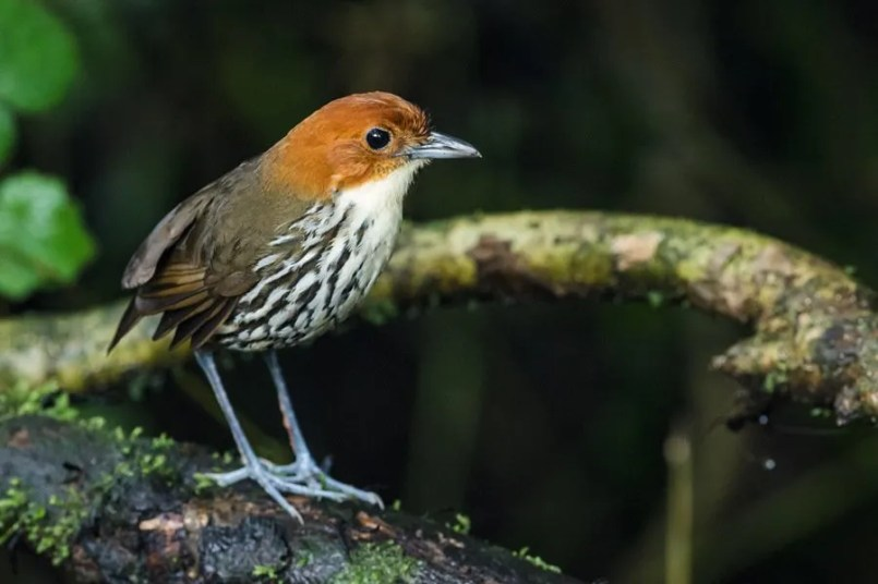 Chestnut-crowned Antpitta is one of several possible antpittas at Paz de las Aves (Nick Athanas)