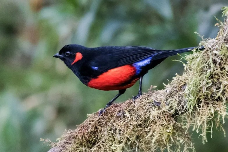 The feeders in the temperate forest of Yanacocha attract Scarlet-bellied Mountain-Tanagers (Nick Athanas)