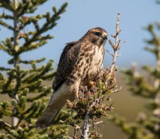 This immature Broad-winged Hawk photographed 9 Sep 2019 was the first record for the entire province of Newfoundland and Labrador. Photo © Vernon Buckle.